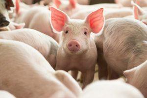 Các điềm báo khi mơ thấy lợn?