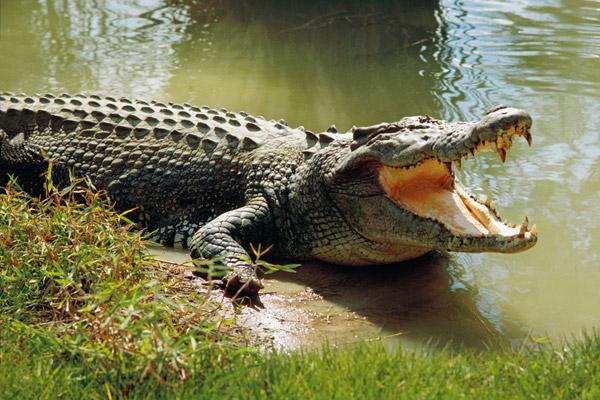 Mơ thấy cá sấu có điềm báo gì?