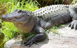Nằm mơ thấy cá sấu đánh con gì?