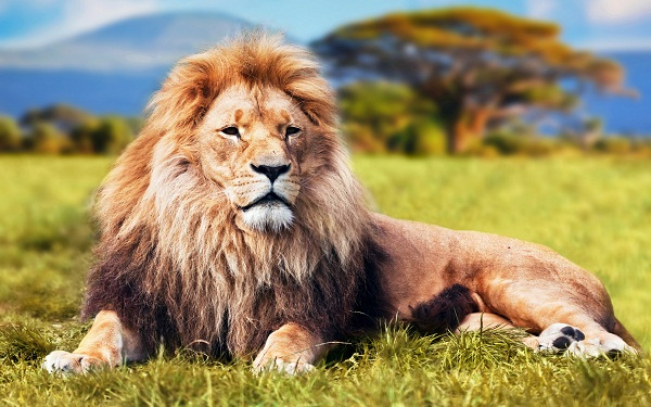 Nằm mơ thấy sư tử nên đánh con gì?